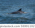Mother And Newborn Baby Bottlenose Dolphin During A Salmon Hunting Lesson At The Moray Firth Near Inverness In Scotland 56991102