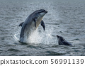 Wild Bottlenose Dolphins Jumping Out Of Ocean Water At The Moray Firth Near Inverness In Scotland 56991139