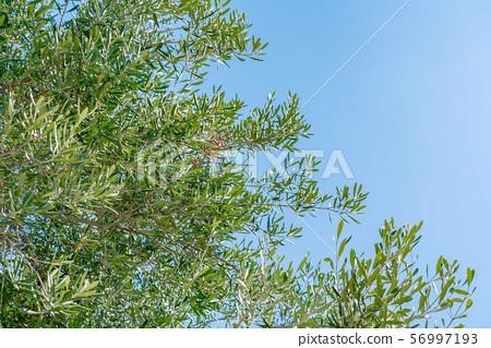 올리브 나무 56997193