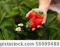 Woman hand holding handful of freshly picked 56999489