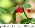 자금우의 열매 57002042