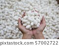 woman hand holding white silk cocoon 57002722