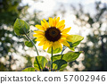 lonely sunflower at sunset with 57002946