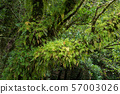 Ferns that grow on the trunk of a tree 57003026