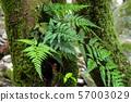 生長在樹幹的蕨 57003029