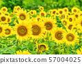 Sunflowers on the Sannokura Plateau (Kitakata Fukushima) 57004025