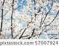 apricot blossom close up.Apricot tree 57007924