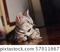 cute short hair young AMERICAN SHORT HAIR breed kitty grey and black stripes 57011667