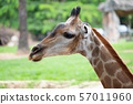 Close-up of a giraffe in front of some green trees 57011960