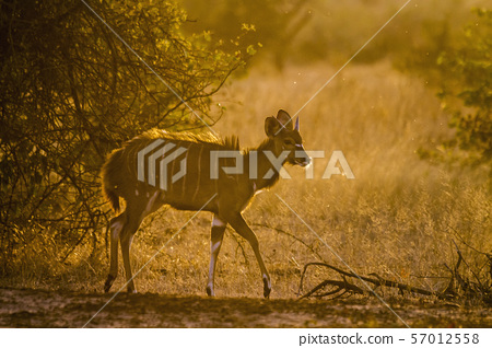 Cape bushbuck in Kruger National park, South 57012558