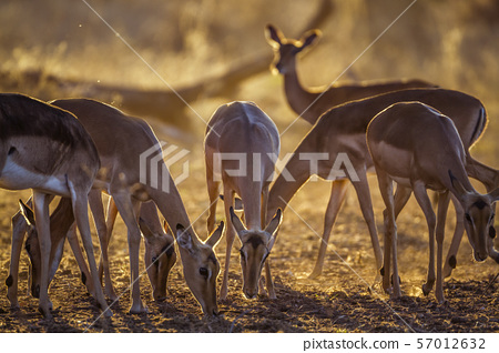 Common Impala in Kruger National park, South 57012632
