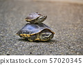 The turtles are walking in the sunlit streets. 57020345