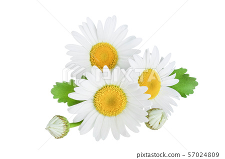 one chamomile or daisies with leaves isolated on white background 57024809