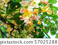 Rainbow shower tree, cassia flowers 57025288