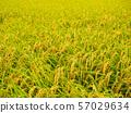 Rice harvest 57029634
