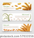 Agricultural cereals banners template. Realistic grains and ears of rice, wheat, barley isolated on 57033556