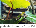Treasury Island tree frog - Litoria thesaurensis 57038351