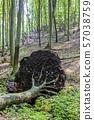 Fallen tree in deciduous forest, Little 57038759