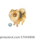 Watercolor pomeranian spitz dog 57040898