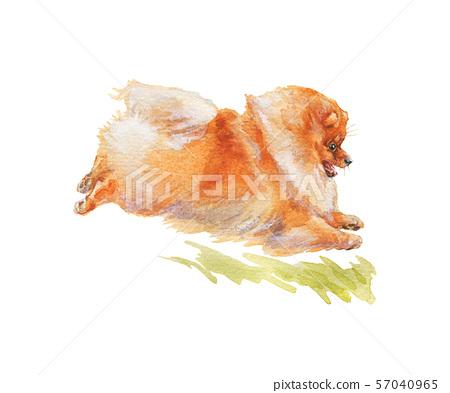 Watercolor pomeranian spitz dog 57040965