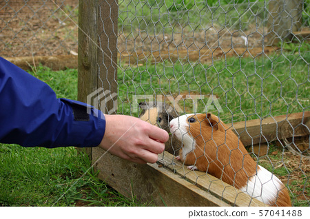 Two guinea pigs in a cage being fed by hand 57041488