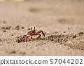 Ghost crab in the sand 57044202