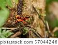Harlequin Poison Dart Frog 57044246