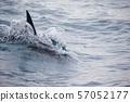 海豚 57052177