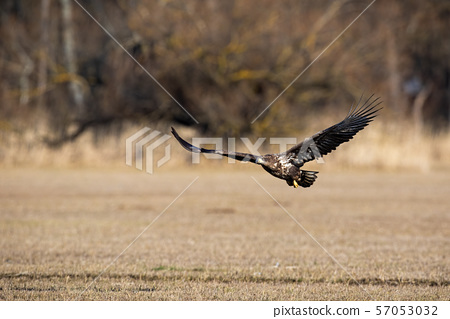 Juvenile white-tailed eagle flying low above ground 57053032