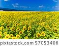 Full bloom of sunflowers Yamamoto sunflower festival Miyagi Yamamoto 57053406