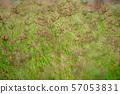 Brown grass flowers in a green field.soft focus. 57053831