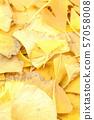 yellow ginkgo biloba leaves in the autumn 57058008
