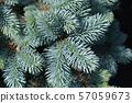 Dwarf Colorado blue spruce 57059673