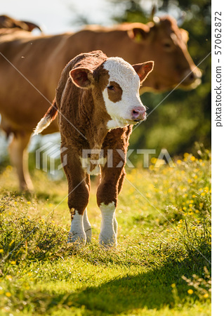 Cows on a meadow in Alps Austria. Schockl mountain 57062872