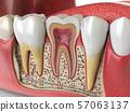Human teeth anatomy. Cross section of  human 57063137