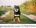 Black And Tan Shiba Inu Dog Outdoor In Countryside Road. 57065044