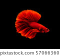 Betta fish, siamese fighting fish, betta splendens 57066360
