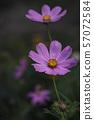 Beautiful flower growing in the summer garden 57072584