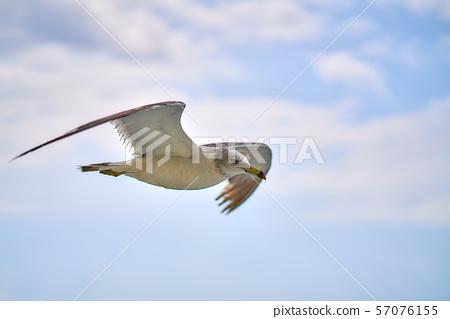 海鷗的飛行 57076155