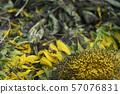 下落的向日葵和蜂环境破坏图象向日葵向日葵向日葵领域 57076831