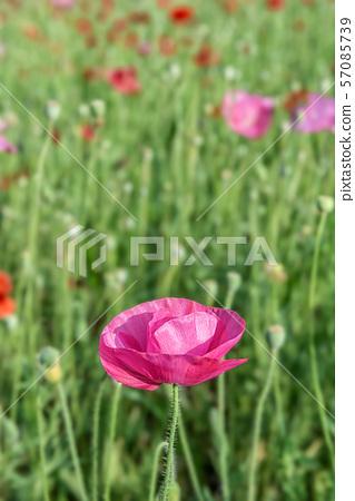 양귀비꽃,꽃밭,화훼,원예 57085739