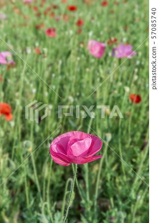 양귀비꽃,꽃밭,화훼,원예 57085740