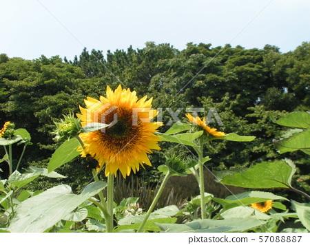 Speaking of summer flowers, yellow sunflower 57088887