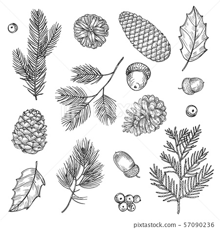 Hand drawn spruce branches and cones vector illustration. Forest elements isolated on white 57090236