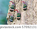 Lanternflies Lantern Bugs on the tree 57092131