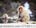 Japanese Snow monkey near hot spring 57100111