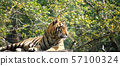 The tiger is lying on a wood log. 57100324