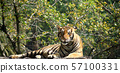 The tiger is lying on a wood log. 57100331