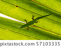 Gold dust green gecko 57103335