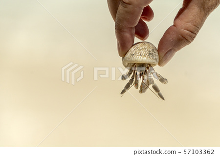 hands holding heremit crab on sandy tropical beach 57103362